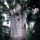 Image of New Zealand Kauri