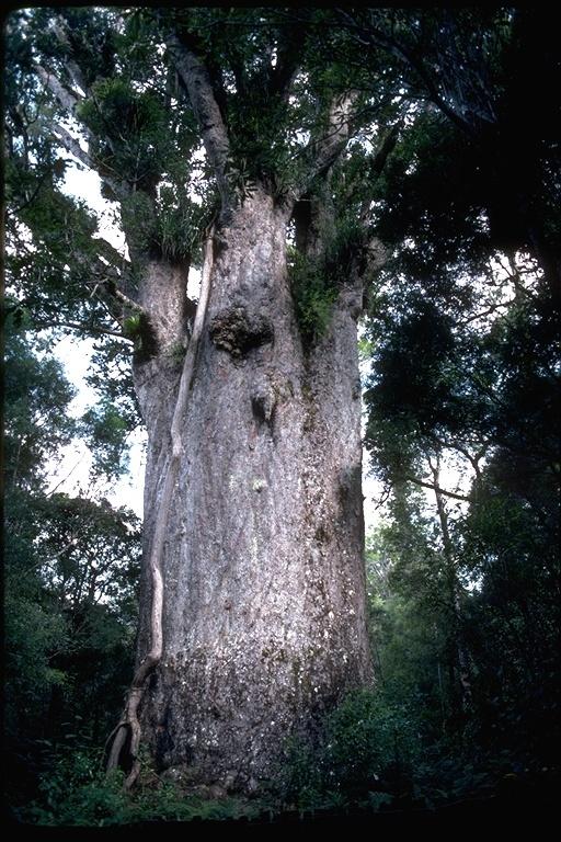 Image of kauri