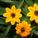 Image of narrowleaf zinnia