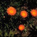 Image of <i>Lampranthus aureus</i> (L.) N. E. Br.