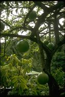 Image of common calabash tree