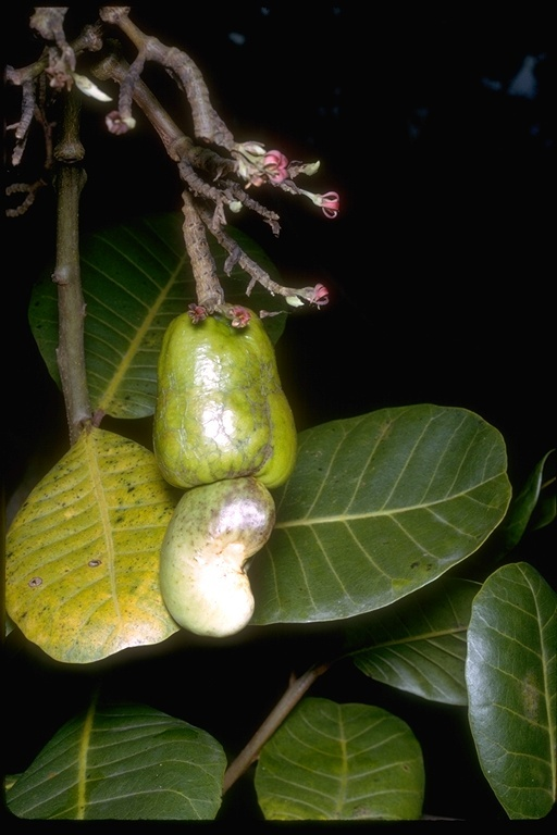 Image of Cashew