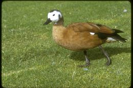 Image of Cape Shelduck