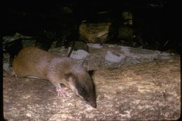 Image of Rufous spiny bandicoot