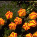 Image of <i>Gentianella hirculus</i> (Griseb.) Fabris