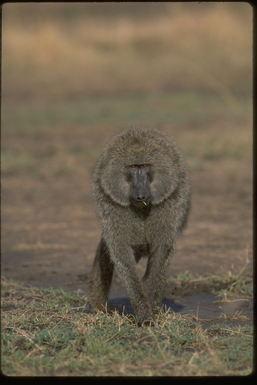 Image of Anubis Baboon