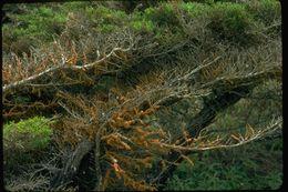 Image of <i>Trentepohlia aurea</i>