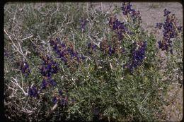 Image of Johnson's indigobush