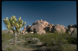 Image of Joshua tree