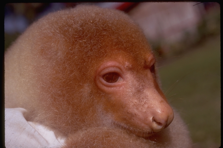 Image of Common Spotted Cuscus