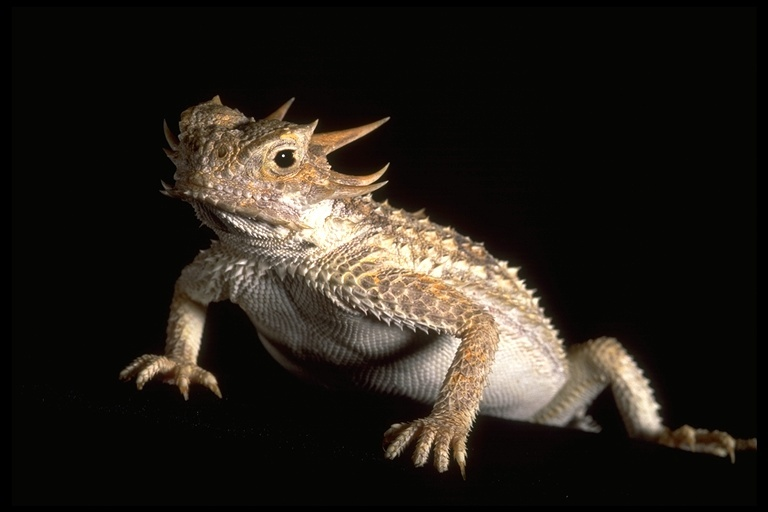 Image of horned lizard