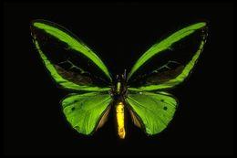 Image of <i>Ornithoptera priamus</i> (Linnaeus 1758)
