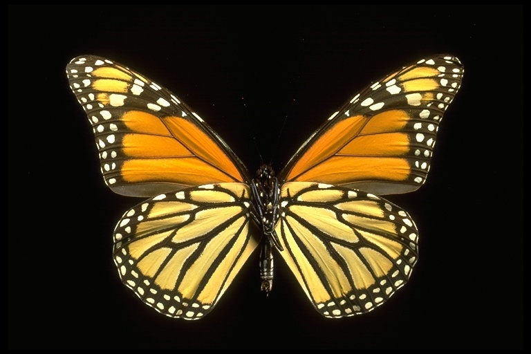Image of Monarch