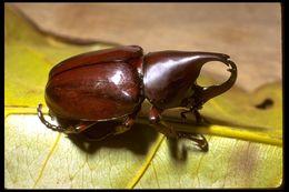 Image of Elephant Beetle