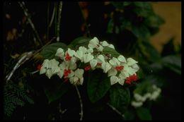 Image of <i>Clerodendrum thomsoniae</i> Balf. fil.