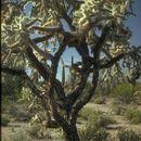 Image of <i>Cylindropuntia <i>fulgida</i></i> var. fulgida