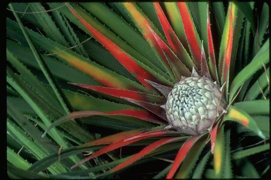 Image of <i>Fascicularia bicolor</i> (Ruiz & Pav.) Mez