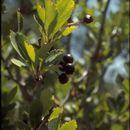 Image of black hawthorn
