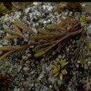 Image of <i>Pelvetiopsis limitata</i>