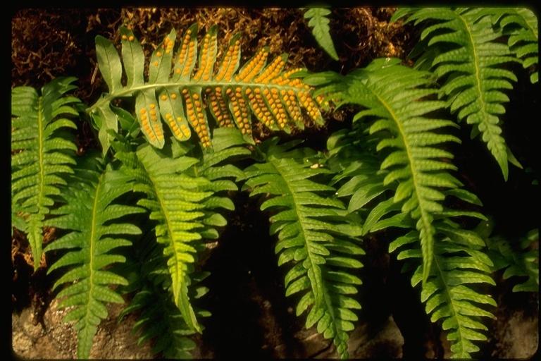 Image of licorice fern