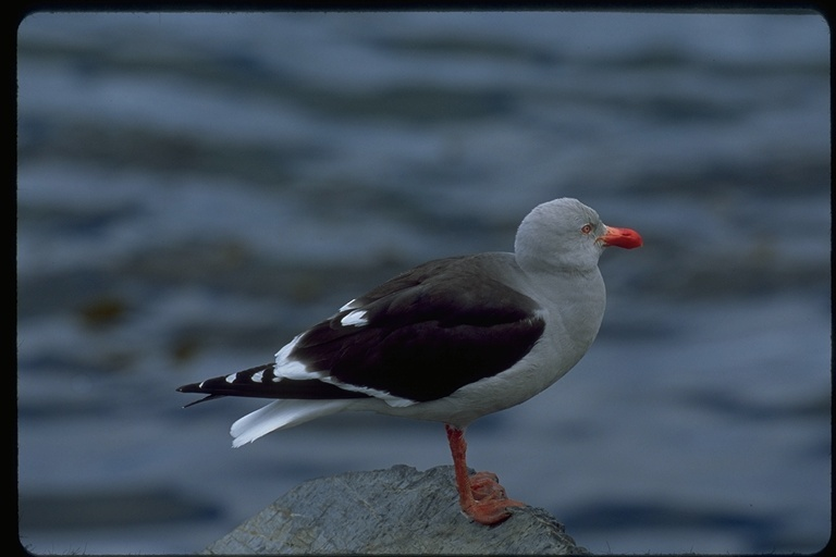 Image of Dolphin Gull