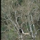 Image of Mantled Colobus
