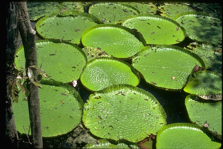 Image of Amazon Waterlily
