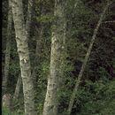 Image of <i>Alnus rubra</i> Bong.