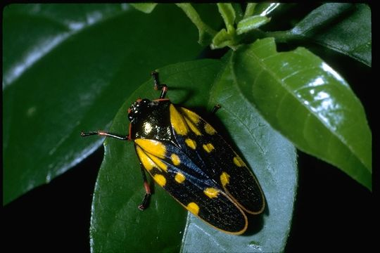 Image of froghoppers
