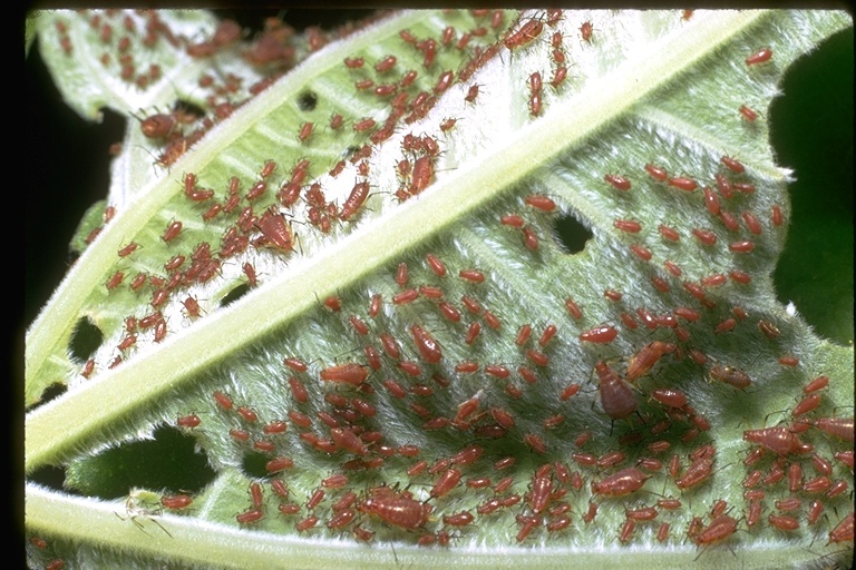 Image of aphids