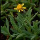 Image of marsh jaumea