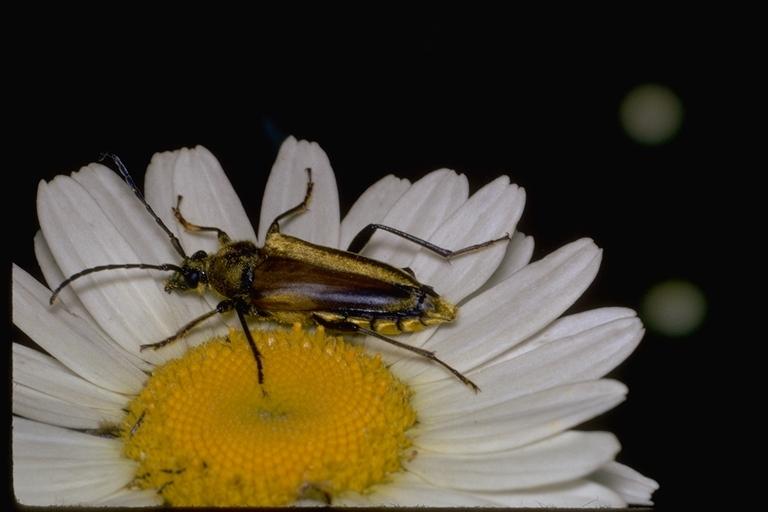 Image of Cosmosalia