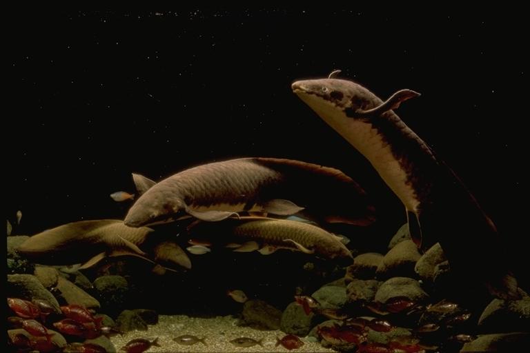 Image of Australian lungfish