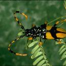 Image of <i>Trachyderes</i> (<i>Dendrobias</i>) <i>mandibularis</i> (Dupont 1834)