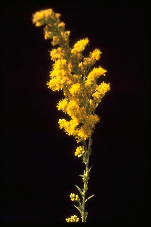 Image of <i>Solidago velutina</i> ssp. <i>californica</i> (Nutt.) Semple