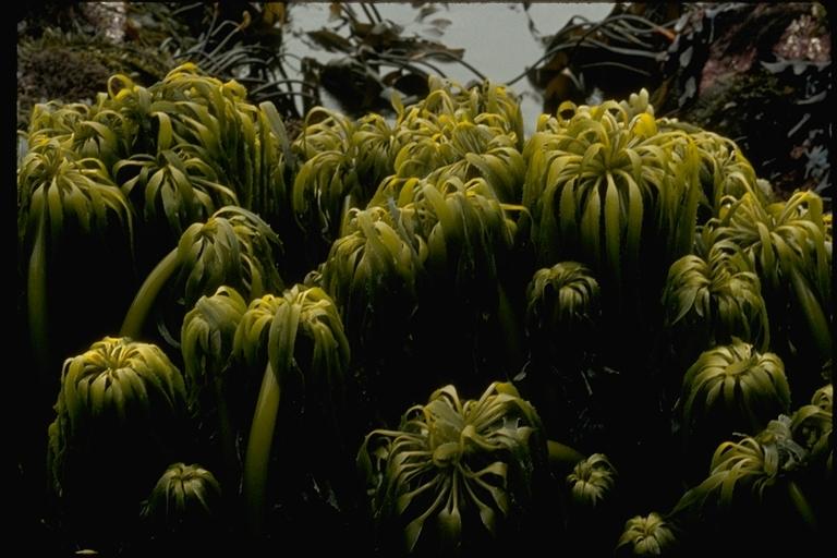 Image of <i>Postelsia palmaeformis</i>