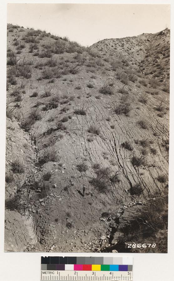 Image of <i>Cercocarpus betulaefolius</i>