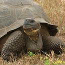 Image of Galapagos giant tortoise