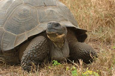 Image of Indefatigable Island Giant Tortoise