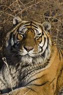 Image of Siberian tiger