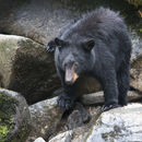 Image of American Black Bear