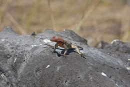 Image of Hood Lava Lizard