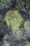 Image of Gold cobblestone lichen