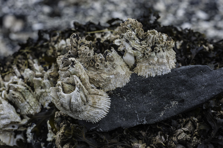 Image of thatched barnacle