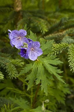 Image of woolly geranium