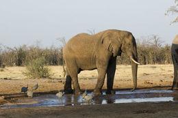 Image of African bush elephant