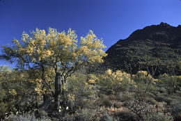 Image of yellow paloverde