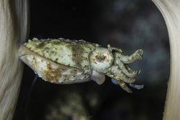 Image of Stumpy Cuttlefish