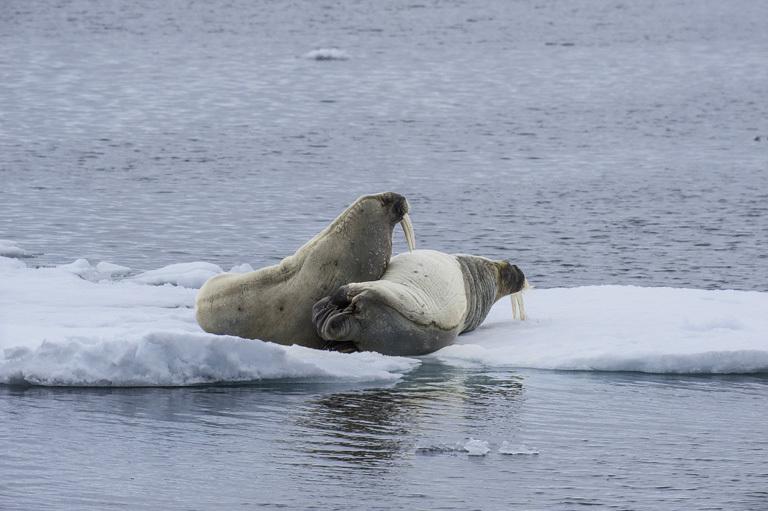 Image of Atlantic Walrus