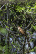 Image of Squirrel Cuckoo